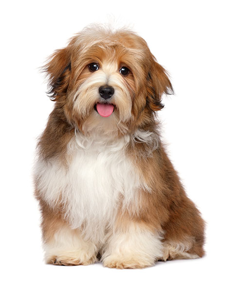 Cute happy red parti colored havanese puppy dog